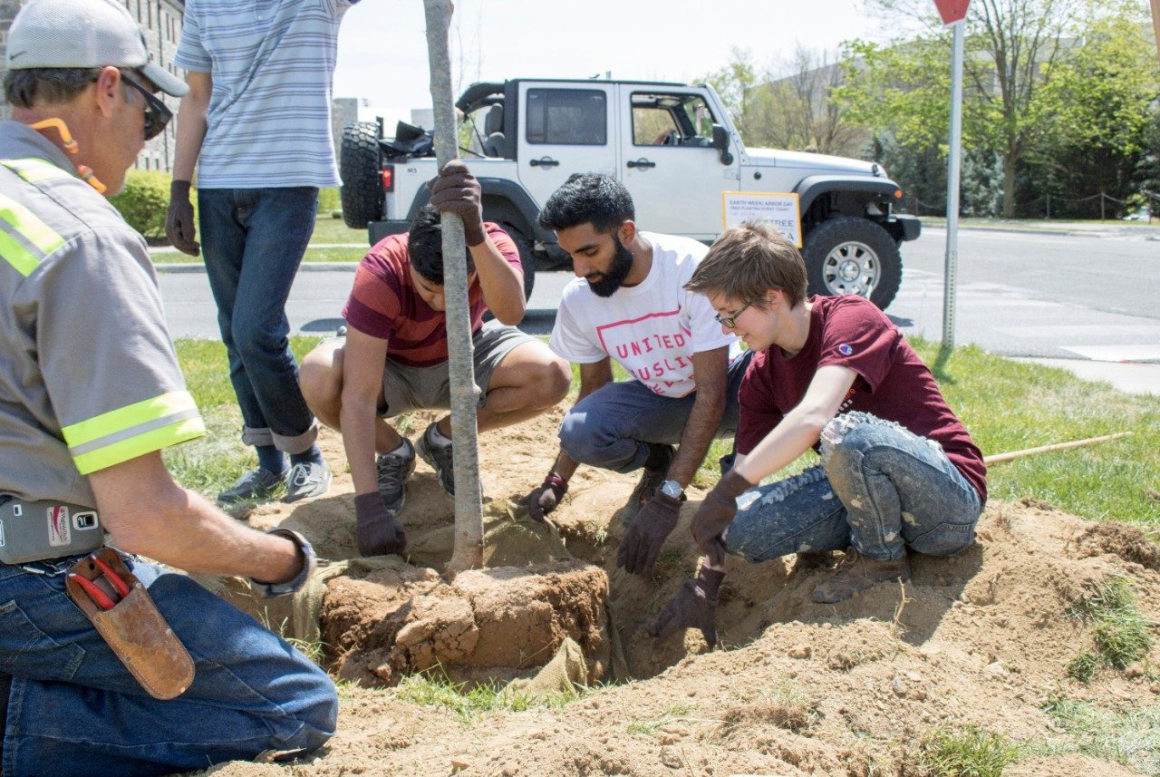 Students removing the burlap casing around the roots of a sapling that is being planted.